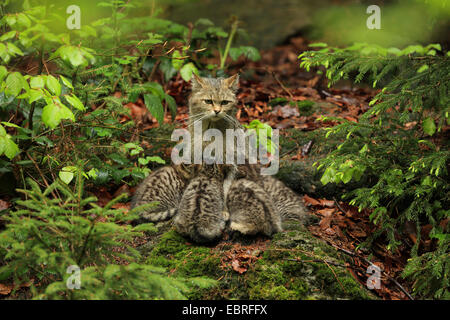 European wildcat, forest wildcat (Felis silvestris silvestris), cat sitting on the forest ground and suckling its - Stock Photo