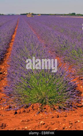 lavender (Lavandula angustifolia), Lavander field in Provence near Valensole village, France, Provence, Alpes de - Stock Photo