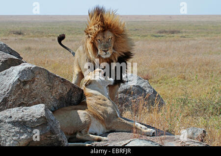 lion (Panthera leo), lion couple on rocks in the savannah, Tanzania, Serengeti National Park - Stock Photo