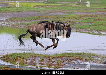 blue wildebeest, brindled gnu, white-bearded wildebeest (Connochaetes taurinus), gnu fleeing, Tanzania, Serengeti - Stock Photo