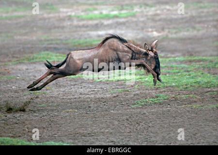 blue wildebeest, brindled gnu, white-bearded wildebeest (Connochaetes taurinus), gnu fleeing, Tanzania, Serengeti - Stock Photo