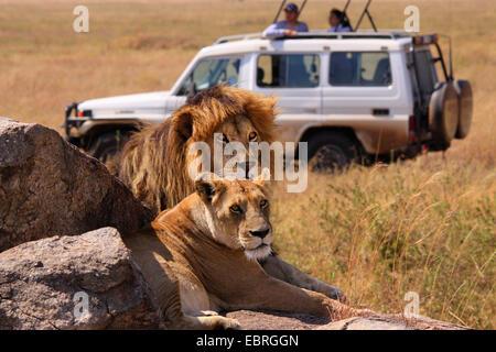 lion (Panthera leo), lion couple on rocks in the savannah, watching by a safari group, Tanzania, Serengeti National - Stock Photo