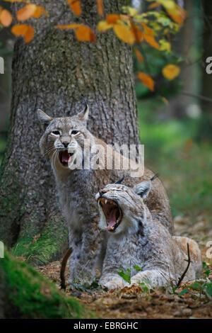 Eurasian lynx (Lynx lynx), Couple, Europe - Stock Photo