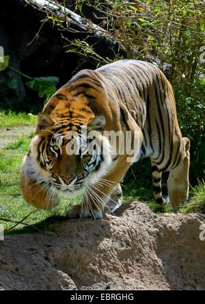 Bengal tiger (Panthera tigris tigris), stalking tiger - Stock Photo