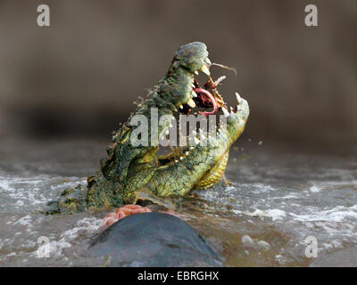 Nile crocodile (Crocodylus niloticus), eating a gnu in the Mara River, lateral portrait, Kenya, Masai Mara National - Stock Photo