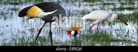crowned crane (Balearica pavonina), on the feed with African Spoonbill, East Afrika - Stock Photo