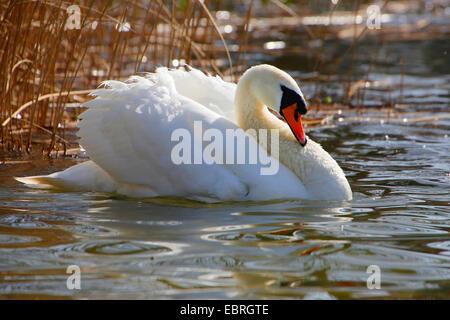 mute swan (Cygnus olor), impressing behaviour, Germany - Stock Photo