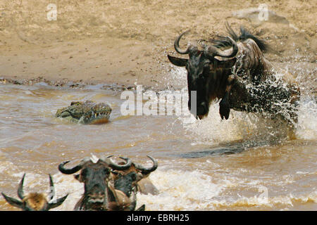 Nile crocodile (Crocodylus niloticus), crocodile attacking wildebeest, Mara River, Kenya, Masai Mara National Park - Stock Photo