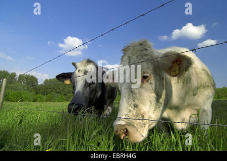 domestic cattle (Bos primigenius f. taurus), two cows standing in a meadow near a barbed wire fence , Belgium - Stock Photo