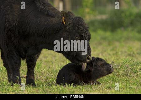 Galloway cattle, domestic cattle (Bos primigenius f. taurus), cow in the pasture licking her calf, Belgium - Stock Photo