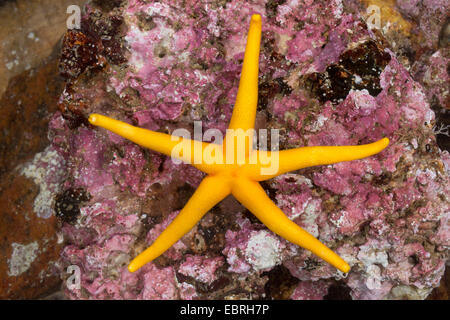 Atlantic Blood Star, Slender sea star, Polar slender sea star, Blood star, Bloody Henry, Northern Henricia, Blood - Stock Photo