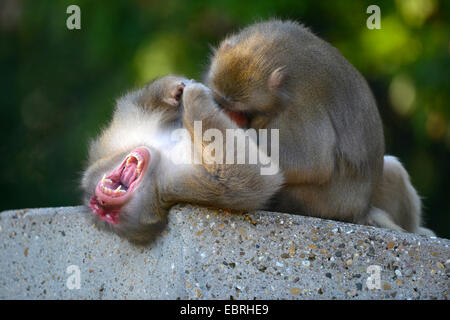 Japanese macaque, snow monkey (Macaca fuscata), enjoying grooming - Stock Photo