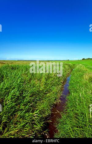 reed grass, common reed (Phragmites communis, Phragmites australis), salt meadows with drainage ditch, Germany, - Stock Photo