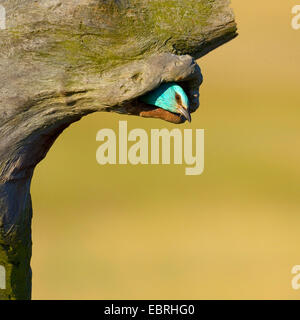 European roller (Coracias garrulus), adult looking out of the breeding cave, Hungary - Stock Photo