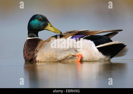 mallard (Anas platyrhynchos), male preening, Hungary - Stock Photo
