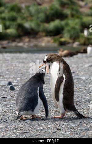 gentoo penguin (Pygoscelis papua), feeding chick, Suedgeorgien, Gold Harbour - Stock Photo