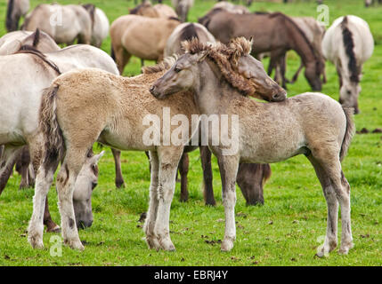 Duelmen pony, Dulmen pony, Duelmener Wildpferd, Dulmener Wildpferd (Equus przewalskii f. caballus), foals in the - Stock Photo