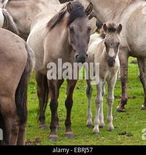 Duelmen pony, Dulmen pony, Duelmener Wildpferd, Dulmener Wildpferd (Equus przewalskii f. caballus), mare with foal - Stock Photo