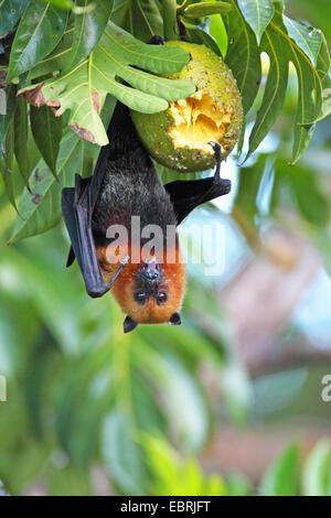 seychelles flying fox, seychelles fruit bat (Pteropus seychellensis), hangs on a tree and feeds a fruit, Seychelles, - Stock Photo