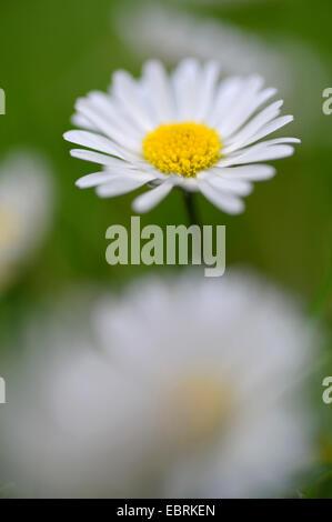 common daisy, lawn daisy, English daisy (Bellis perennis), inflorecence, Germany, North Rhine-Westphalia - Stock Photo