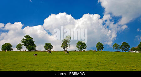domestic cattle (Bos primigenius f. taurus), steep pasture with cattle in Brenscheid, Germany, North Rhine-Westphalia, - Stock Photo