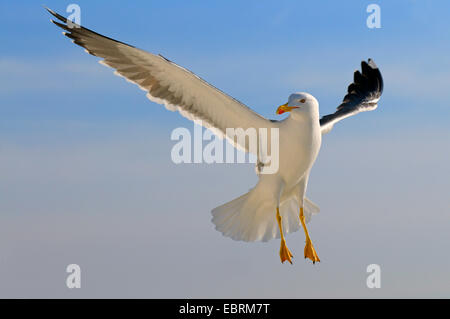 lesser black-backed gull (Larus fuscus), approach for a landing, Netherlands, Texel - Stock Photo