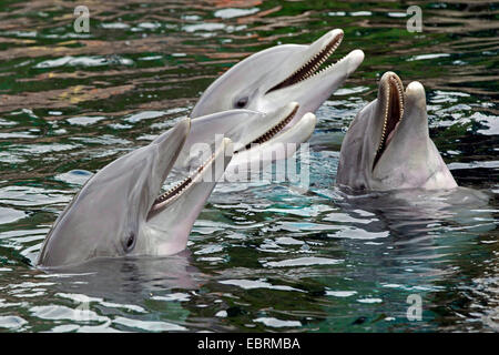 Bottlenosed dolphin, Common bottle-nosed dolphin (Tursiops truncatus), four dolphins looking out of the water - Stock Photo
