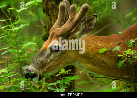 White-tailed deer (Odocoileus virginianus), browsing, portrait with antler in neoformation of the velvet, USA, Tennessee, - Stock Photo