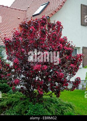ornamental apple tree (Malus 'Royalty', Malus Royalty), cultiar Royalty, Germany - Stock Photo