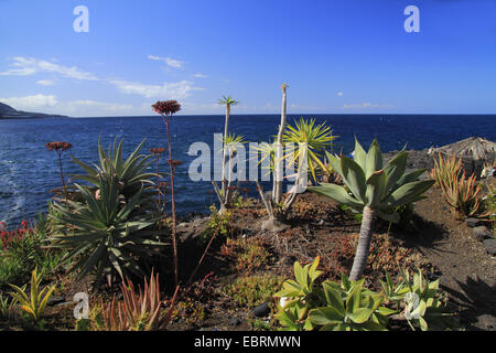 group of succulents on a rocky seashore, Canary Islands, La Palma - Stock Photo