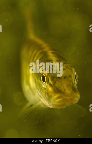 pike, northern pike (Esox lucius), portrait, Germany - Stock Photo