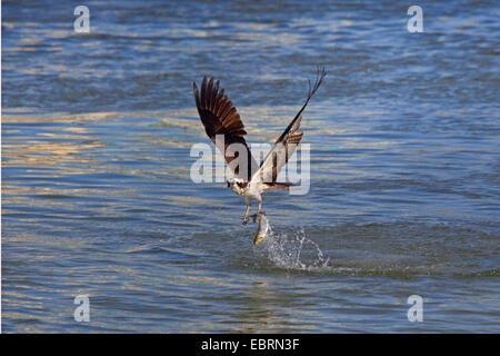 Wild osprey pandion haliaetus fishing in aviemore for Fish hawk fl