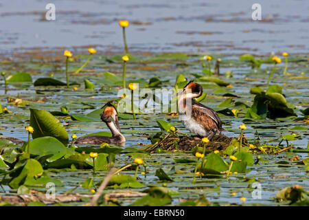great crested grebe (Podiceps cristatus), couple at the nest with egg, Germany, Bavaria, Lake Chiemsee - Stock Photo