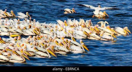 eastern white pelican (Pelecanus onocrotalus), troop fishing, group hunting at the Lake Nakuru, Kenya - Stock Photo