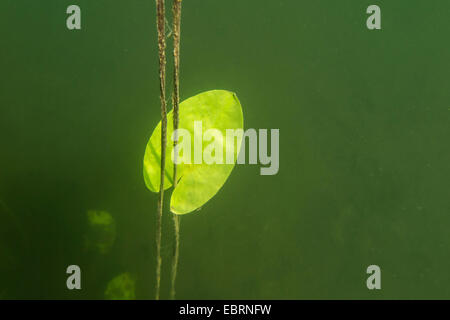 white water-lily, white pond lily (Nymphaea alba), leaf under water, Germany, Bavaria, Langbuergener See - Stock Photo