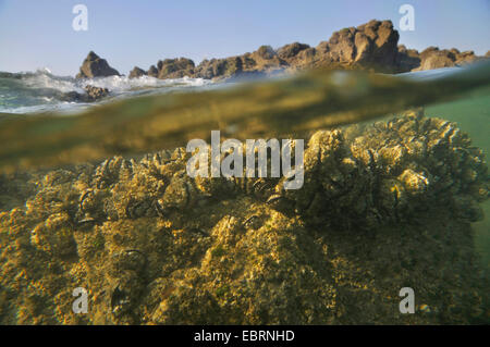blue mussel, bay mussel, common mussel, common blue mussel (Mytilus edulis), beds of mussels in intertidal zone, - Stock Photo