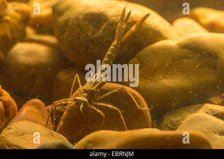 banded blackwings, banded agrion, banded demoiselle (Calopteryx splendens, Agrion splendens), larva, Germany - Stock Photo