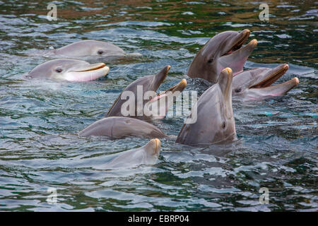 Bottlenosed dolphin, Common bottle-nosed dolphin (Tursiops truncatus), eight dolphins looking out of the water - Stock Photo