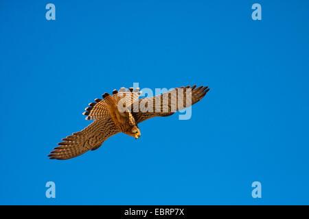 European Kestrel, Eurasian Kestrel, Old World Kestrel, Common Kestrel (Falco tinnunculus), in flight, Switzerland, - Stock Photo