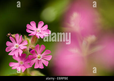 Red campion (Silene dioica), flowers, Germany, Baden-Wuerttemberg - Stock Photo