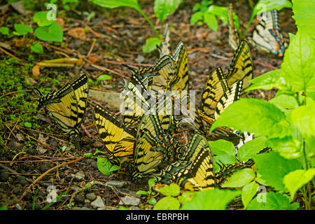 Eastern Tiger Swallowtail (Papilio glaucus), swarm at mineral well, USA, Tennessee, Great Smoky Mountains National Park
