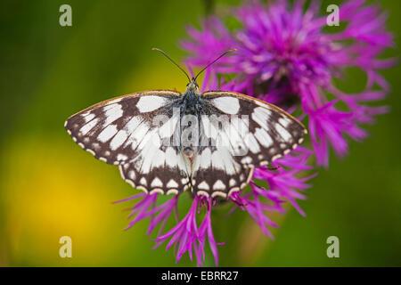 marbled white (Melanargia galathea), on Brown Knapweed, Germany, Hesse - Stock Photo