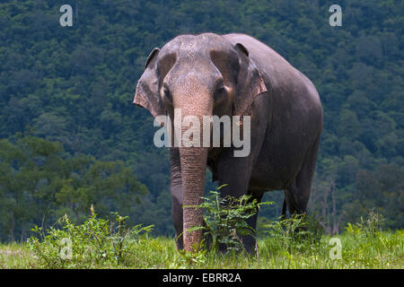 Asiatic elephant, Asian elephant (Elephas maximus), in nature reserve, Thailand, Elephant Nature Park, Chiang Mai - Stock Photo