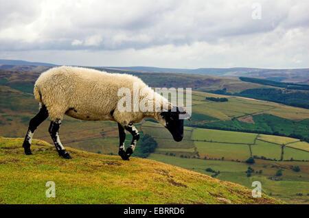 domestic sheep (Ovis ammon f. aries), walking on pasture, United Kingdom, England, Peak-Distrikt National Park - Stock Photo