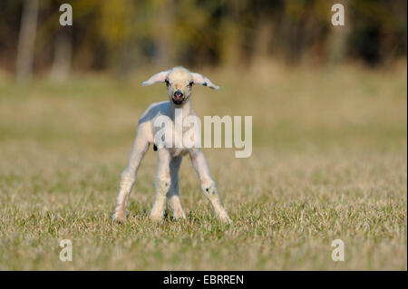 domestic sheep (Ovis ammon f. aries), lamb standing on pasture, Germany - Stock Photo