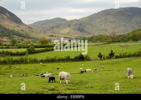 domestic sheep (Ovis ammon f. aries), flocks in an extensive meadow landscape in the Lake District, United Kingdom, - Stock Photo