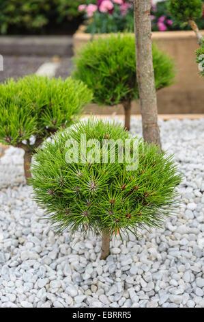 European black pine, Austrian pine, Black Pine, Corsican Pine (Pinus 'Marie Br�geon', Pinus Marie Br�geon), cultivar - Stock Photo