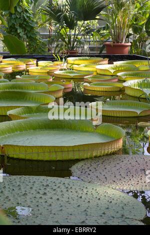 Santa Cruz Water Lily (Victoria cruziana), swimming leaves of Victoria in a green house - Stock Photo