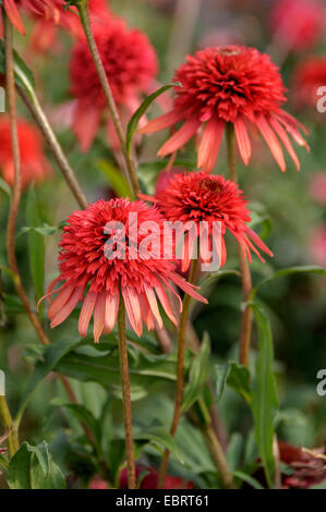 Purple Cone Flower, Eastern purple-coneflower, Purple-coneflower (Echinacea purpurea 'Hot Papaya', Echinacea purpurea - Stock Photo