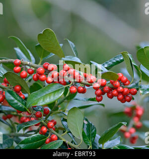 common holly, English holly (Ilex aquifolium 'JC van Tol', Ilex aquifolium JC van Tol), cultivar JC van Tol - Stock Photo